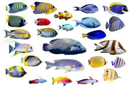 Conjunto de peces marinos sobre fondo blanco aislado. Pavo real, emperador, pez ángel de llama. pez payaso, pez fuego, pez fuego púrpura, pez mariposa, labios dulces, napoleón y pargo Threadfin, etc.