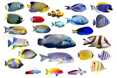 Ensemble de poissons marins sur fond isolé blanc. Paon, Empereur, Poisson-ange Flamme. poisson clown, Firefish, Firefish pourpre, Butterflyfish, Sweetlips, Humphead Napoléon et Threadfin snapper etc.