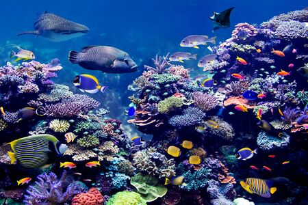Whale shark and Manta Ray visiting Coral reef with schooling of Beautiful tropical marine fish
