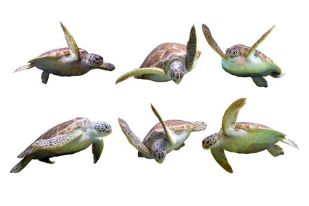 Set of Sea Turtle in many action on white isolated background