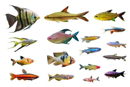 Set of Ornamental Freshwater Fish on white isolated background. such as Leopoldi angelfish, Coral red Pencilfish, German Ram Cichlid, Serpae tetra, Green neon tetra and Rainbowfish etc.