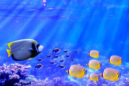 Emperor Angelfish swimming in coral reef with group of powder blue tang and butterflyfish for Background usage Stok Fotoğraf