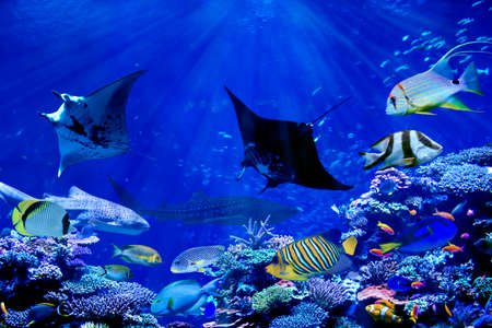 Manta ray dancing with tropical marine fish such as whale shark and anglefish in beautiful coral reef Stock Photo