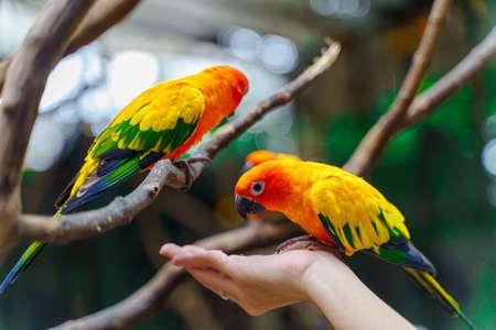 Sun parakeet (Aratinga solstitialis) eating food from human's hand
