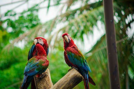 Scarlet macaw (Ara macao) climbing on branch of tree