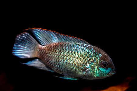 Electric Blue Acara (Andinoacara pulcher)  swimming