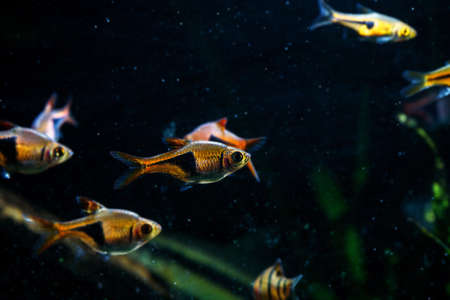 Harlequin rasbora (Trigonostigma heteromorpha) one of classic aquarium fish Stock Photo
