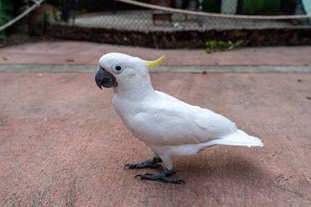 Sulphur-crested cockatoo (Cacatua galerita) walking on ground