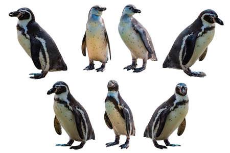 Set of Humboldt penguin (Spheniscus humboldti) on white isolated background