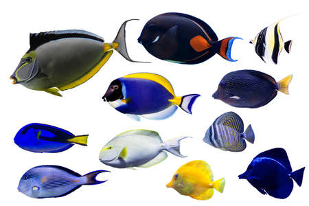 Set of Surgeonfish on white isolated background such as achilleas Stock Photo