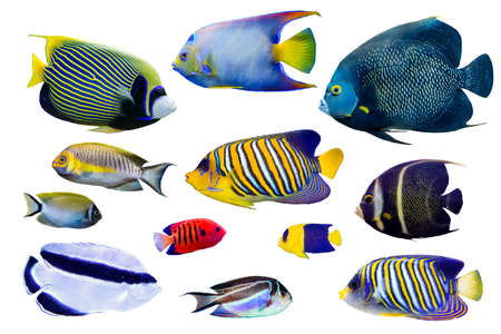Set of Saltwater angelfish on white isolated background such as french, regal, emperor and queen