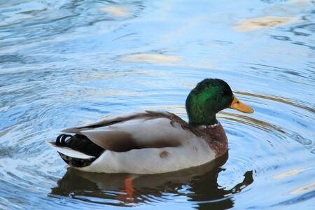 dabbling: Mallard in the pond