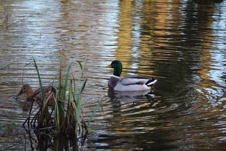 dabbling: Mallards in the lake