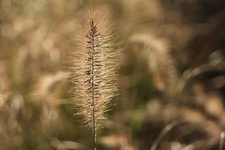 to thrive: grashalm in winter