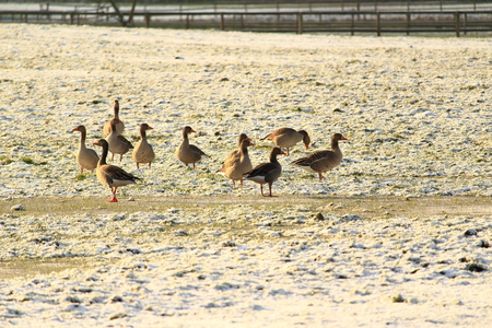 cohesion: Geese on a slightly snowy meadow Stock Photo