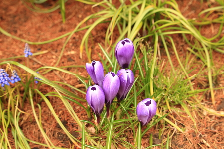 race for time: Crocus Iridaceae, crocus Stock Photo