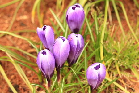 zest for life: Crocus Iridaceae, crocus Stock Photo