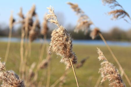 marsh plant: The reed (Phragmites communis) blowing in the wind