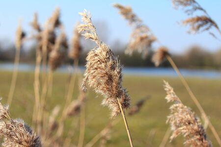 phragmites: The reed (Phragmites communis) blowing in the wind