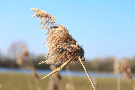 phragmites: The reed (Phragmites communis) am See Stock Photo