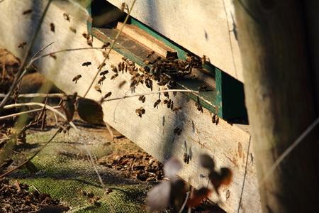 hardworking: the hard-working honeybees (Apiformes) Stock Photo