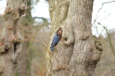 corvidae: Dohle has her nest found Stock Photo
