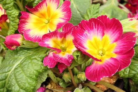 bloom: the w�ndersch�ne bloom of Stiefm�tterchens