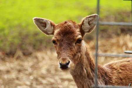 curiously: Deer looking curiously around the fence Stock Photo