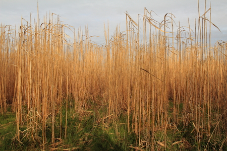 biotope: Reeds blowing in the wind