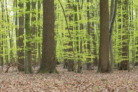 hojas antiguas: Las hojas jóvenes en los árboles, las hojas viejas en el suelo del bosque