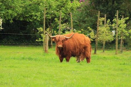cattle breeding: Highland Cattle on pasture