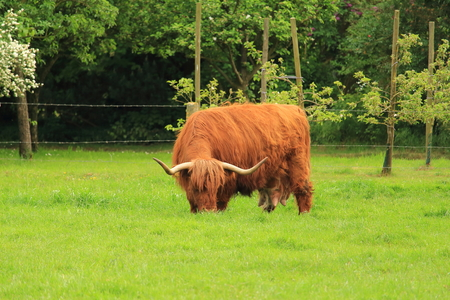 cattle grazing: Highland Cattle grazing on pasture Stock Photo