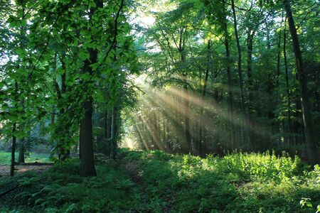 Fr?hlingswald forest with sunbeams