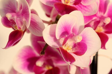 valentines day mother s: Orchid
