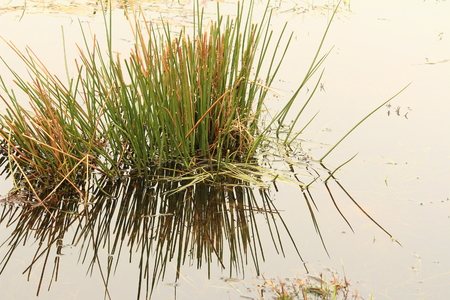 Marsh grass reflected in water