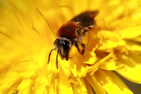 aculeata: Bee collects pollen