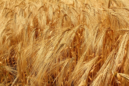 parched: Dried barley