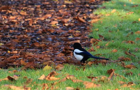 Magpie on the ground