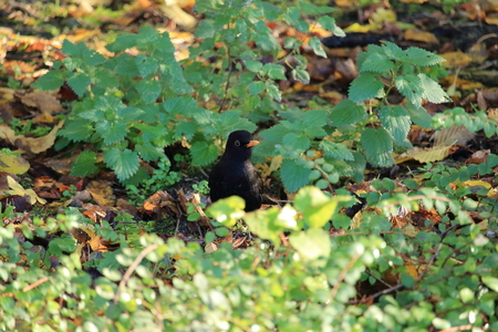 throttle: Blackbird in natural environment