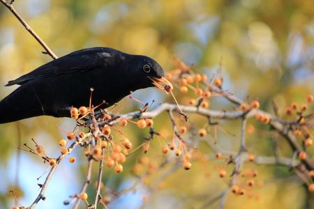 Blackbird in natural environment