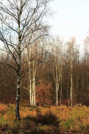자작 나무 숲