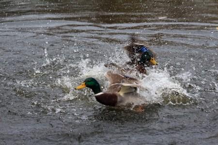 Fight of the ducks Stock Photo