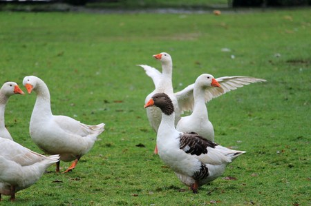 the Christmas geese Stock Photo