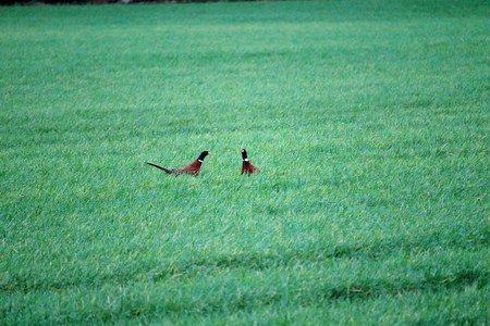 Pheasants in the meadow
