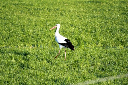A stork wades across a meadow Stock Photo