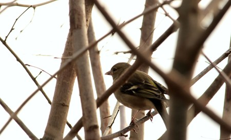Chaffinch between the branches