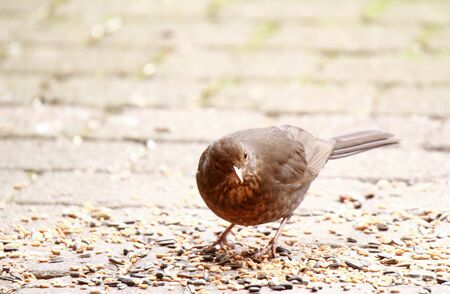 Blackbird picks the grains