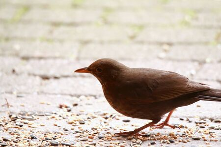 Blackbird on concrete pavement