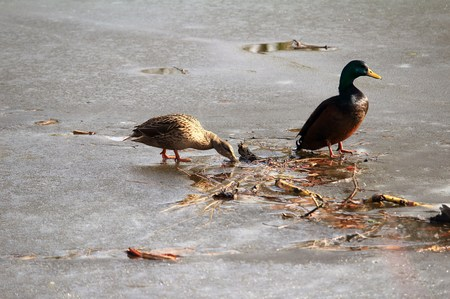 Duck drinks from a small hole in the ice