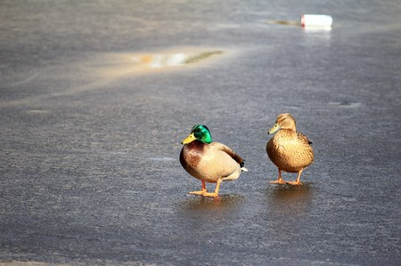 Duck pair on the ice